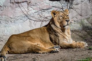 Asiatischer Löwe / Asiatic Lion