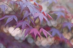 Big In Japan. (sdupimages) Tags: 7dwf light soft softlighting feuilles foliage japon japanese acerpalmatum érable maple flore nature arbres trees