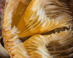 Double fan worm (dave.thediver) Tags: bispiravolutacornis cornwall abstract coldwater current doublespiralworm fanworm feeding macro manacles sea tubeworm underwater