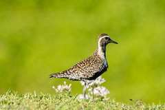 Pacific Golden Plover (Michael J Porter) Tags: bird birds hawaii kauai kilauea lighthouse nature outdoor princeville sky sunset wildlife