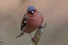 _F0A6891.jpg (Kico Lopez) Tags: fringillacoelebs galicia lugo miño pinzóncomún spain aves birds rio