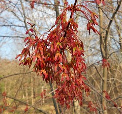 Red Maple (Acer rubrum) (John Scholze) Tags: maple red acer rubrum wisconsin tree