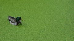 Mallord's greens (alison_m10) Tags: swanlakenaturesanctuary park lake mallardduck mallard duck nature neature britishcolumbia canada explorebc keepexploring green animal bird pnw pacificnorthwest pacific northwest cascadia landscape vancouverisland island water pond explore nc bc naturesanctuary swanlake