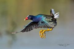 Purple Gallinule in Flight (MyKeyC) Tags: ronbielefeld porphyrulamartinica laakekissimmee flight purplegallinule florida bird birds