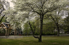 DSCF2392 conway dogwoods (snolic...linda) Tags: arkansas 501 fujixt2 conwayarkansas dogwoodtree spring