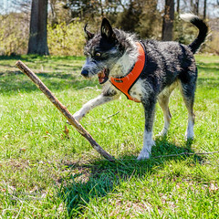 A STICK! (Bill Adams) Tags: explore baltimore baltimorecounty bordercollie cattledog dog forest gunpowderstatepark hammermanarea maryland middleriver