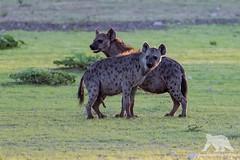 Spotted Hyenas (fascinationwildlife) Tags: animal mammal spotted hyena tüpfelhyäne hyäne predator wild wildlife nature natur national park transfrontier kalahari kgalagadi desert south africa summer südafrika field morning