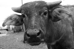 Inquisitive Buffalo 1 (Bob Hawley) Tags: nikond7100 nikon2870mmf3545afd asia pingtung taiwan outdoors xuhai animals bubalusbubalis domestic farming agriculture blackandwhite monochrome closeup faces