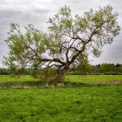 Mein Baum (MH *) Tags: baum tree gras grass meadow emmendingen wiese weide stamm äste teningen allmend pentax k3 35mmltdmacro
