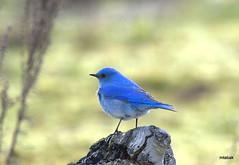 Mountain Bluebird (miketabak) Tags:
