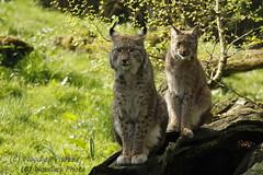 eurasischer Luchs - Lynx (Noodles Photo) Tags: lynxlynx lynx luchs eurasischerluchs raubtier carnivora cat groskatze säugetier katze biotopwildparkanholterschweiz anholterschweiz wildpark animalpark canoneos1dmarkiii ef100400mmf4556lisusm animaladdiction
