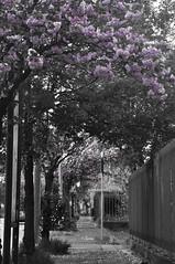 (Fede Z.) Tags: primavera spring risveglio rosa pink awake alberi peschi trees peach viale avenue bw blackandwhite biancoeneroselettivo coloreselettivo