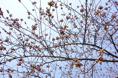 Sakura buds (しまみゅーら) Tags: sony cybershot dscrx100 rx100 carl zeiss variosonnar t 104371mm f1849 spring