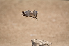A dove taking off (malc1702) Tags: dove birds smallbirds nature nikond7100 tamron150600 bokeh outdoor animals wildlife wings wingspread wildlifephotography birdphotography beauty fastshutterspeed freezingmotion fantasticnature
