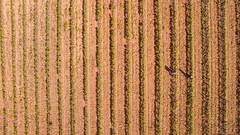 Two between vertical green lines (Santini1972) Tags: two lines green vineyard phantom3 aerial dron vilamaniscle pattern texture
