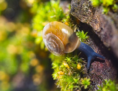 Snail On The Tree (mikhailkorzhalov) Tags: canon macro macrorings wildlife snail snails moss manualfocus outdoors animal animals nature manual 50mm russianlens vintagelenses oxychilusdeilus oxychilus