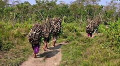 "NEPAL, Royal Chitwan-Nationalpark, Holzsammler auf dem Heimweg, 75397/8178 (roba66) Tags: reisen travel explore voyages roba66 visit urlaub nepal asien asia südasien ""royal chitwannationalpark"" nationalpark landschaft landscape paisaje nature natur naturalezza menschen nepalesen people holzsammler arbeiter"