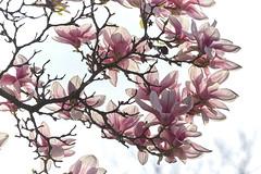 Danse autour du magnolia 10/22 (Emmanuel Cattier -) Tags: magnolia fleur plante tree fleursetplantes flower flowering arbre arbreenfleur france strasbourg alsace grandest floraison lumière printemps cattier emmanuelcattier manusoft