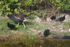 And then there was four :( (Kay Musk) Tags: moorhen gallinula wildlife wild pond nature nikond3200 essex uk bird