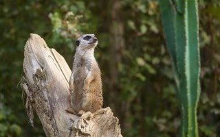Parco Natura Viva (04) - Meerkat