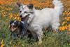 Poppies (15) (Feddal Nora) Tags: poppyreserve poppyreservenorafeddalcalifornia flower dog witch sorciere chien poppies coquelicot purple orange poppy antelope valley california reserve antelopevalleycaliforniapoppyreserve purplelacyphacelia canon