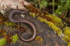 Kings River Slender Salamander (Batrachoseps regius) (Chad M. Lane) Tags: snake reptile amphibians ringneck slendersalamander wildlife nature macro sb800 nikon nikond810 tamron tamron90mmf28macro kingsriver fresnocounty kerncounty snakereptileamphibiansringneckslender salamanderwildlifenaturemacrosb800nikonnikon d810tamrontamron 90mm f28 macrokings riverfresno countykern county exploring hiking