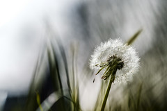 Dandelion in the morning sun (Wouter de Bruijn) Tags: fujifilm xt1 fujinonxf90mmf2rlmwr dandelion flower grass bokeh depthoffield macro nature outdoor blur mantelingen westhove walcheren zeeland nederland netherlands holland dutch