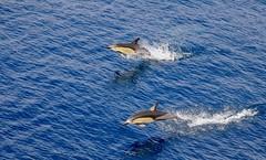 Short-beaked Common Dolphin (Delphinus delphis) (mosesharold) Tags: 1y3a62581 dolphins newzealand tasmansea