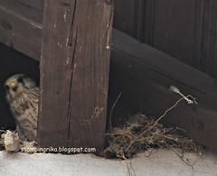 kestrel (stamping_rika) Tags: nest kestrel turmfalke falke