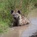 The Hyena Bath - Tanzania
