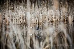 Through the Looking Grass (jenna.lindquist) Tags: wisconsin northwoods nature canon tallgrass cattails pond water birds ducks flyingducks flying flight takingflight
