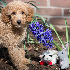 Happy Easter! (Bill McBride) Tags: dog hyacinth bowie puppy easter