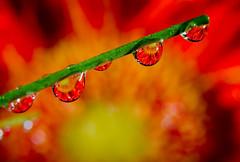 Flower Balls (Brandon_Hilder) Tags: daisy dropreflections flash flower waterdrops studio
