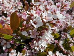 Arctostaphylos sp. Ericaceae-manzanita 5 (SierraSunrise) Tags: arctostaphylos california ericaceae flowers fresno fresnocounty manzanita ornamentals pink plants sanjoaquinvalley shrubs usa