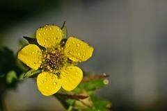 Dans le jardin (Jacques Borruel) Tags: nature couleurs colors fleur grosplan macro jardin
