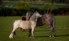 You scratch my back... (AnthonyCNeill) Tags: horse horses equine equestrian caballos outdoor countryside pferde animals chevaux