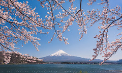 Cherry Blossoms Hanging Over Fuji (lestaylorphoto) Tags: japan mtfuji fujisan mountain volcano cherryblossoms sakura flower kawaguchiko lake blossom spring morning nikon d610 leslietaylor lestaylorphoto travel 日本 富士山 河口湖 桜 桜祭り ニコン テイラー レスリー 旅行 yamanashi