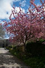 Tree`s / Bomen (Stef32Photo) Tags: trees bomen pink roze sigma nikon d5300 daytime overdag sunlight zonlicht clouds wolken street straat sigma18200mm nederland netherlands northholland noordholland heerhugowaard