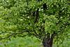 Ziemlich GRÜN (MH *) Tags: emmendingen elz wasser grün green baum tree d7200 spring frühling primavera tamron90mmmakro blätter leaves berries