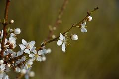 Zarte Seiten des Frühlings (Nikonfotografie) Tags: fineartphotography detailverliebt springtime blossoms meinnorden nikond7100 nikonofficials nikonlove bestofnature naturfotographie naturephotography natur blüten zart spring frühling