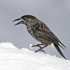 Spotted nutcracker, snow (fr@nspelsmaekers) Tags: notenkraker spottednutcracker nucifragacaryocatactes cassenoixmoucheté tannenhäher