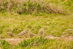 Short Eared Owl (ejwwest) Tags: shortearedowl portsmouth owl farlington southcoast hampshire birds asioflammeus langstone solent england unitedkingdom gb
