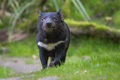 Tasmanischer Teufel (DeanB Photography) Tags: 1dmarkiv affen beutelteufel bären canon duisburg gorilla gruppentreffen katzen koala raubtiere teufel tier tiere tierpark tiger wildpark zoo zootreffen animal gefährlich