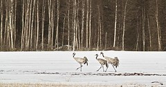 Cranes. (RaijaV2010) Tags: crane grus birds spring mi migration snow field