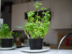 Kitchen friendship (Quino QG) Tags: kitchen spring onions basil green plant plants garden