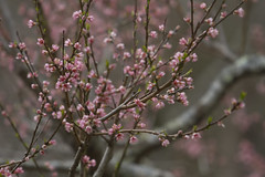Flowering Peach (brucetopher) Tags: peach blossoms peachtree tree floweringtree flowering flower peaches blossom bud spring hopeful beauty beautiful nature dazzle