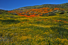 Wildflower Trail, Diamond Valley Lake (Mastery of Maps) Tags: wildflowers wildflower southerncalifornia california superbloom flowers flower flowerfields carpets diamondvalleylake hemet riversidecounty inlandempire perrisvalley 2017 bloom blooming stateflower californiapoppy poppy orange poppyfields desert desertflowers springbloom spring color springcolors