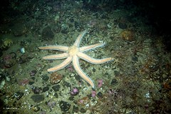 Seven armed starfish vs brittle stars (Oikoman) Tags: farnes scuba uk diving luidia 7armed starfish