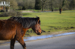 Taking a Stroll (ray_anthony) Tags: wild england horse nature nikon wildlife streetphotography upclose newforest strolling