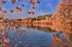Tidal Basin (George Reader DC) Tags: dc basin cherryblossoms tidal cherrytrees dcspring